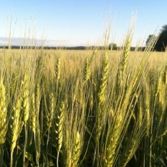 Minnesota organic Spring wheat.