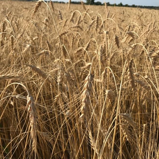 1874 Turkey Red Winter Wheat